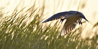 Black-headed Gull (Larus ridibundus) on sunset background Royalty Free Stock Photography
