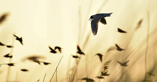 Black-headed Gull (Larus ridibundus) on sunset background Stock Photography