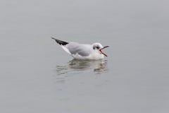 Black-headed gull Larus ridibundus swimming and crying. One black-headed gull Larus ridibundus swimming and crying with open beak stock images