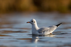 Black-headed gull Larus ridibundus swimming on the water surfa Royalty Free Stock Images