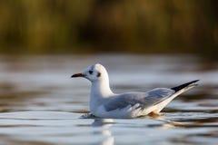 Black-headed gull Larus ridibundus swimming on water surface Stock Image