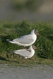 Black-headed gull, Larus ridibundus Royalty Free Stock Photos