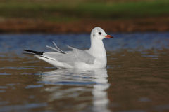 Black-headed gull, Larus ridibundus Royalty Free Stock Photography