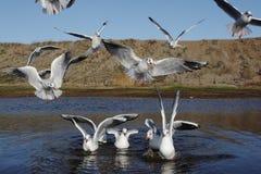 Black-headed gull, Larus ridibundus Royalty Free Stock Photos