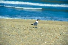 Black headed gull Royalty Free Stock Photo
