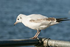 Black headed gull on metal bar Stock Photography