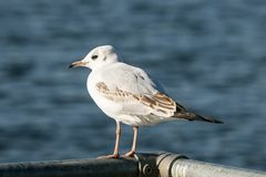 Black headed gull on metal bar Royalty Free Stock Photography