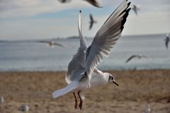 Black-headed gull. (winter plumage) in the moment of landing. Cannes. France stock images