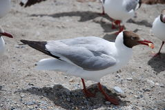 Black Headed Gull Royalty Free Stock Image