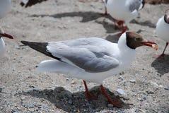 Black Headed Gull. Nam Co Lake elves - Black Headed Gull Royalty Free Stock Image