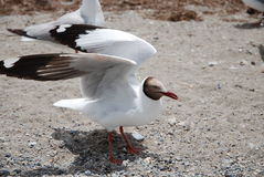Black Headed Gull. Nam Co Lake elves - Black Headed Gull royalty free stock image