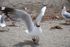 Black Headed Gull. Nam Co Lake elves - Black Headed Gull Stock Photos