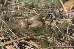 Black Headed Gull nest Stock Photography