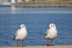 Black-headed gull Stock Photography