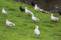 Black headed gull. Stock Image