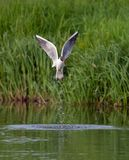 Black-headed gull outflies from the river surface with plash stock photos