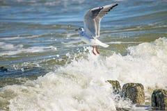 Black-headed gull over groynes Stock Image