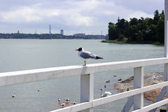 Black-headed Gull in a park in Helsinki. In Finland Royalty Free Stock Images
