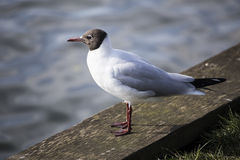 Black Headed Gull Royalty Free Stock Images