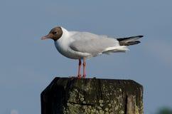 Black-headed gull on a pillar Stock Images