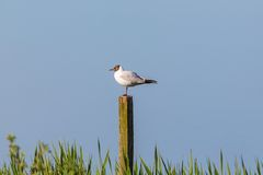 Black-headed gull on a pole Royalty Free Stock Photography