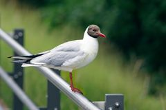 Black-headed gull on a pole at the river danube. Stock Image