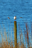 Black Headed Gull on a pole Royalty Free Stock Photography
