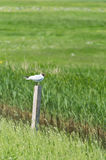 Black-headed gull on pole Royalty Free Stock Image