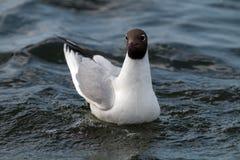 Black-headed gull portrait. Royalty Free Stock Photography