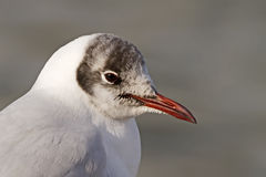 Black-headed Gull Portrait Royalty Free Stock Photos