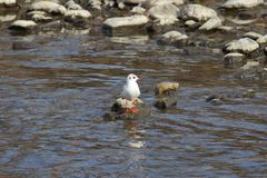 Common gull on a stone royalty free stock photography