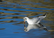 Black-headed Gull Reflected Royalty Free Stock Photo