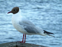 Black-headed Gull Resting at the Waterfront Terrace Royalty Free Stock Photography