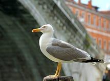 Black-headed Gull and the rialto bridge in Venice Stock Images