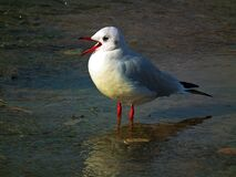 A black-headed gull in water