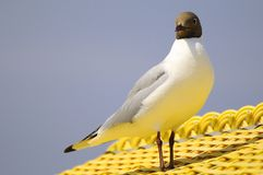 Black-headed gull on roof Royalty Free Stock Photo