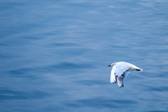 Black-headed gull seagull flying over water Stock Photo