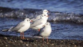 Black-headed Gull on the Seashore Royalty Free Stock Image