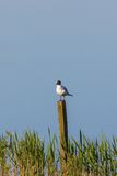 Black headed gull sitting on a pole Stock Images