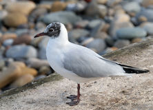 Black Headed Gull. The black-headed gull is a small gull that breeds in much of Europe and Asia, and also in coastal eastern Canada. Most of the population is Stock Image