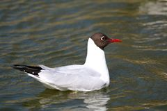 Black Headed gull. The black-headed gull is a small gull that breeds in much of Europe and Asia, and also in coastal eastern Canada. Most of the population is Stock Photos