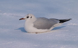 Black-headed Gull on snow Royalty Free Stock Photos