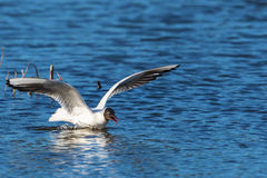 Black-headed gull with spread wings Stock Images