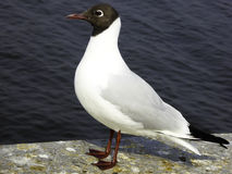 A Black-headed Gull standing on dam Stock Photos
