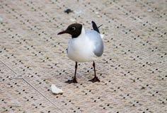 Black-headed Gull Stock Images