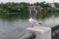 The black-headed gull standing on a parapet on a Dnipro river embankment. In center of the same name city, UKraine stock photography