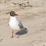 Black-headed gull standing in the sand and looking away, close-up. stock photos