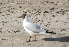 Black-headed gull standing in the sand and looking forward, close-up. royalty free stock images