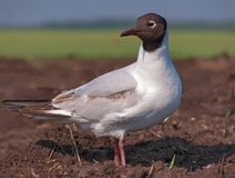 Black-headed gull stands on the ground for close shot in field stock photo