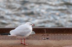Black headed gull staring at the Elbe River in the port of Hamburg. Royalty Free Stock Image